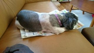 新聞を見ながら寝てしまったモコちゃん🐶